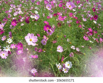Cosmos Flowers (Cosmos bipinnatus)