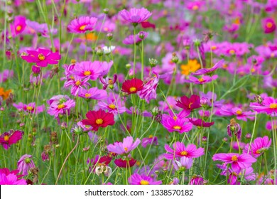 cosmos flowers are blooming