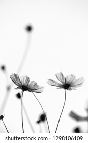 Black and white Cosmos flowers blooming beautifully in a vast field thailand with sunlight and blurred background