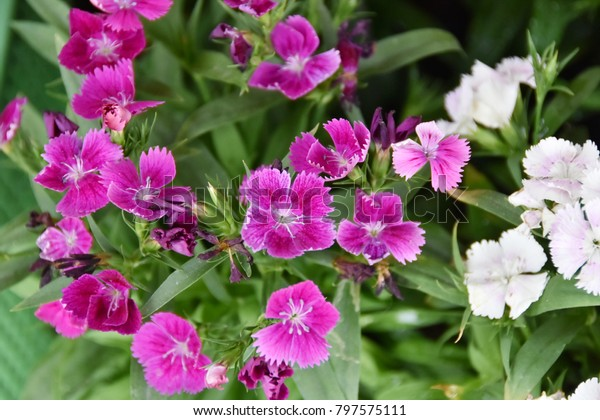 Cosmos Flowers Blooming Dwarf Guava Trees Stock Photo (Edit