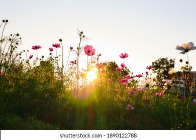 Cosmos flowers are blooming in garden.