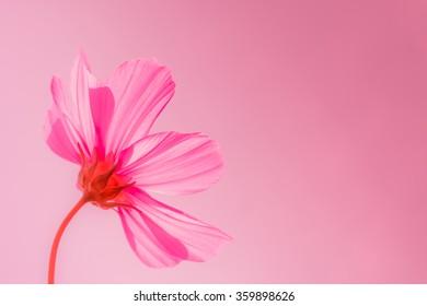 Cosmos flowers in blooming garden