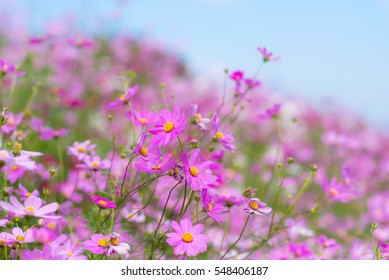Cosmos flowers blooming in the garden