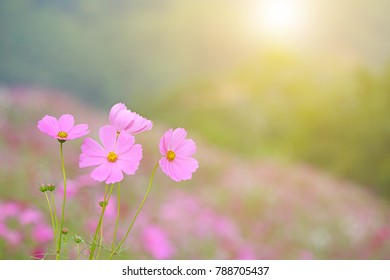 Cosmos flowers blooming in the garden with soft light and select focus, Nature background
