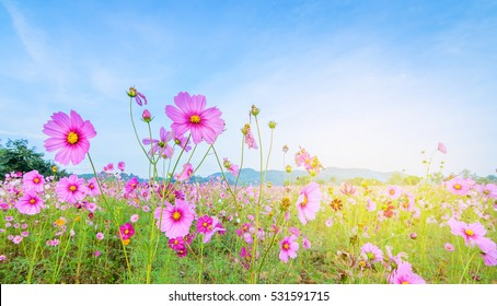 Cosmos flowers in blooming with sunrise background and mountain landscape.