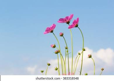 Cosmos flowers with blue sky.