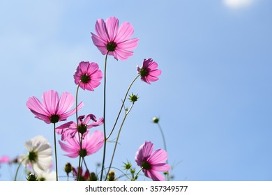 Cosmos flowers with the blue sky on the sunny day