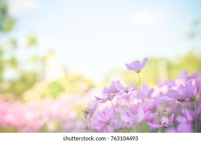 Cosmos flowers with bokeh in pastel color style and soft blur for background.