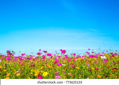 cosmos flowers field with blue sky background