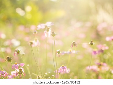 Cosmos  flowers  in the field of Lumphun province countryside Th