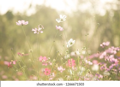 Cosmos  flowers  in the field of Lumphun province countryside Thailand