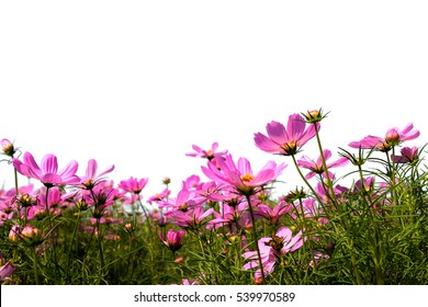 cosmos flowers field on white background