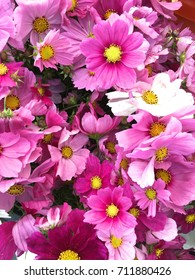 Cosmos Flowers at the Florist in NYC Green Market