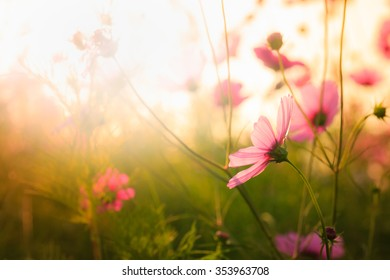 Cosmos flowers in the garden with copy-space background ,vintage style soft focus.