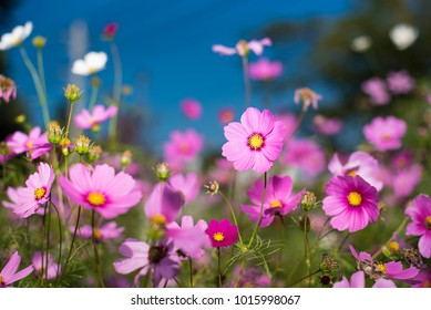 cosmos flowers in garden on blue sky and blurred background as natural concept.