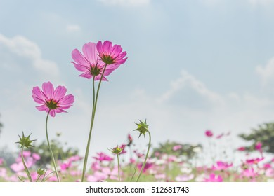 Cosmos flowers in the garden on sky background