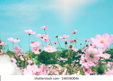 Cosmos flowers garden on spring season with  light  sweet Japanese  Style