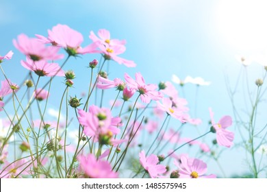 Cosmos flowers garden in spring season with  light  sweet Japanese  Style