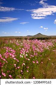 Cosmos flowers in kwazulu natal, south africa