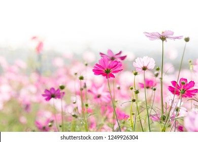 Cosmos flowers in nature, sweet background, blurry flower background, light pink and deep pink cosmos