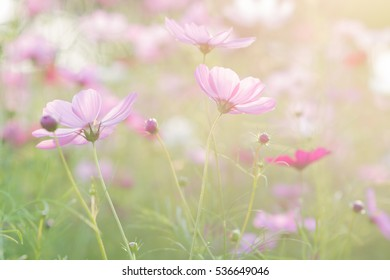 cosmos flowers on sunset background