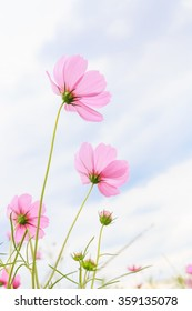 Cosmos flowers with sky background.