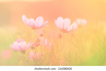 Cosmos Flowers soft focus with pastel tones.