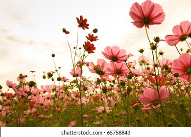 cosmos flowers in sunset