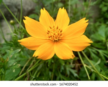 Cosmos flowers that have colors and shapes like sunflowers