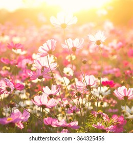 Cosmos flowers under sunlight in the field