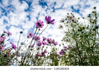 Cosmos flowers, view from below into the sky