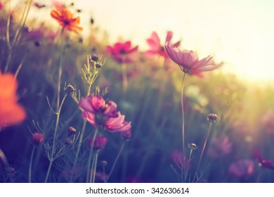 Cosmos flowers in vintage style color effect.