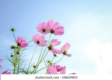 Cosmos Flowers,Pink and red cosmos flowers garden.