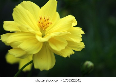 cosmos in full bloom are found in the countryside because the leaves are often used as a vegetable