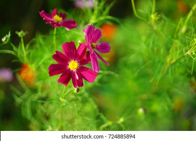 Cosmos at the garden in Japan