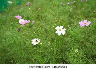 Cosmos and glasses in a garden