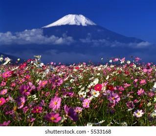 Cosmos meadow near Mount Fuji