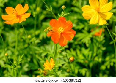 'Cosmos' (Mexican aster) ; A flare textures of flowers. multi-color, orange, yellow, reddish yellowish, with long, flat & delicate petals. Stacked overlap as a circle around the pollen. Top view.
