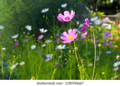 Cosmos is native to scrub and meadowland in Mexico where most of the species occur, as well as the United States, as far north as the Olympic Pennsula in Washington, Central America,