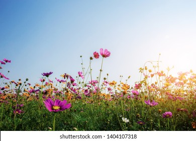 Cosmos on field in winter with the sunrise.
