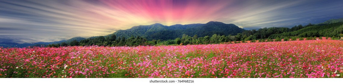 Cosmos panoramic flower field
