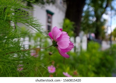 Cosmos is a pink dainty flower in the foreground with green foliage and a white picket fence and historic home in the background. The flower is in the center exposing the back stem and petals.