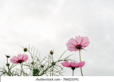 Cosmos pink flowers background