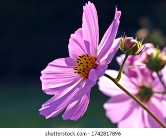 cosmos pink flowers are like flowers of heaven on earth