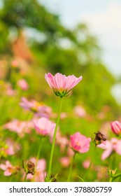 Cosmos Sonata Flowerfield pink flower field