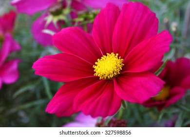 Cosmos Sonata Flowerfield pink red flower field Cosmos bipinnatus