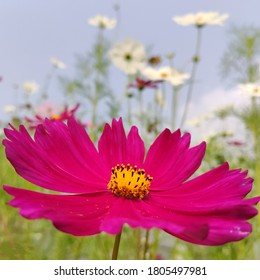 cosmos sonata flowering plants of south Asian origin