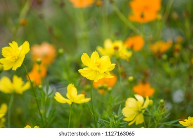 Cosmos sulphureus, Mexican Aster, yellow flower bloom