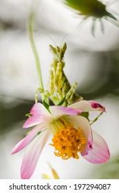Cosmos sulphureus  or Sulfur Cosmos or Yellow Cosmos and mantis in the garden or nature park