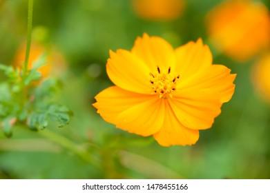 Cosmos sulphureus (sulphur cosmos). Beautiful flower in close-up. Copy space.